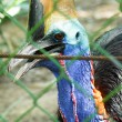 Bird  cassowary. — Stock Photo
