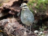 Bird blue pitta . — Stock Photo