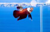 Siamese fighting fish — Stock Photo