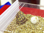 Baby turtles. — Foto de Stock