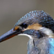 Common kingfisher. — Stock Photo #37212949