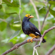 Stock Photo: Bird golden-crested myna.