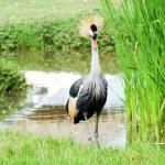 Bird crowned crane . — Stock Photo #37213955