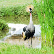 Bird crowned crane . — Stock Photo