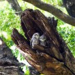 Stock Photo: Bird spotted owlet .