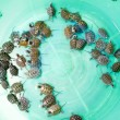 Baby turtles — Stock Photo