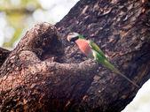 Розовогрудый кольчатый попугай — Стоковое фото