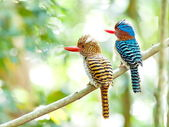 Banded kingfisher — Stock Photo