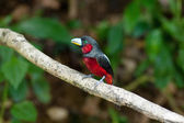 Black-and-Red Broadbill — Zdjęcie stockowe