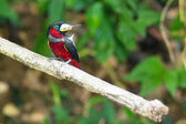 Black-and-Red Broadbill — Стоковое фото