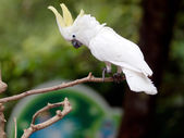 White cockatoo — Stock Photo
