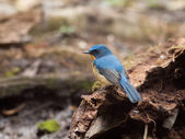 Blue hill flycatcher — Stock Photo