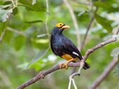 Bird golden-crested myna. — Stockfoto