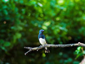 Blue - white flycatcher — Stock Photo