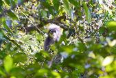 Dusky leaf monkey — Stock Photo