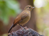 Buff-breasted Babbler — Stock Photo