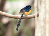 White-rumped Shama — Stock Photo