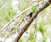 Red-billed blue magpie . — Foto de Stock