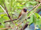Bird scaly breasted munia . — Stock Photo