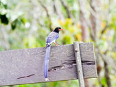 Red-billed blue magpie . — Stock Photo