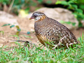 Scaly-breasted Partridge . — Stock Photo