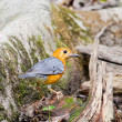Stock Photo: Orange-headed Thrush