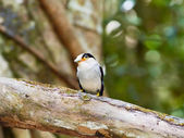 Bird silver broadbill. — Stock Photo