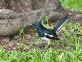 Orientaliska magpie robin — Stockfoto