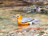 Orange-headed Thrush — Stock Photo
