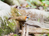 Pomatorhinus schisticeps (White-browed Scimitar-Babbler) — Stock Photo