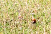 Bird lesser whistling-duck . — Stockfoto
