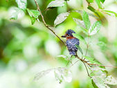 Bird banded kingfisher . — Stock Photo