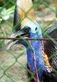 Bird cassowary. — Stock Photo