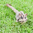 Stock Photo: Sugar glider