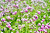 Globe amaranth flowers . — Stock Photo