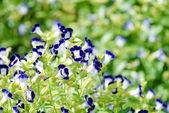 Colorful wishbone flower . — Stock Photo