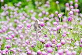 Globe amaranth flowers . — Stok fotoğraf