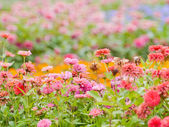 Zinnia scarlet flowers — Stock Photo