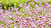 Globe amaranth  flowers . — Foto Stock