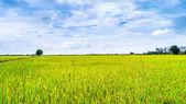Rice field . — Stock Photo