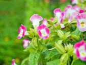 : Wishbone flower — Stock Photo
