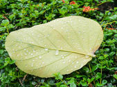 Water drops  leaves. — Stock Photo