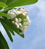Plumeria Frangipani white flower with blue sky — Stock Photo