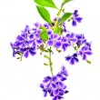 Duranta, Pigeon berry on white background — Stock Photo