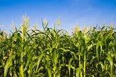 Corn farm against blue sky — Stock Photo