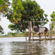 Elevated flooded cowshed and ox — Stock Photo