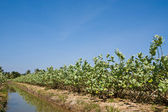 Crown flower farm against blue sky and watering canal system — Stock Photo