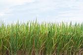 Bulutlu gökyüzü çeltik ve beyaz pirinç — Stok fotoğraf
