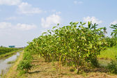 Eggplant and watering system canal in the farm — Stock Photo