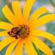 Bibasis sena on Jerusalem artichoke flower  — Stock Photo